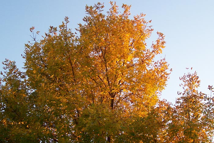 Orange Leaves, Blue Sky