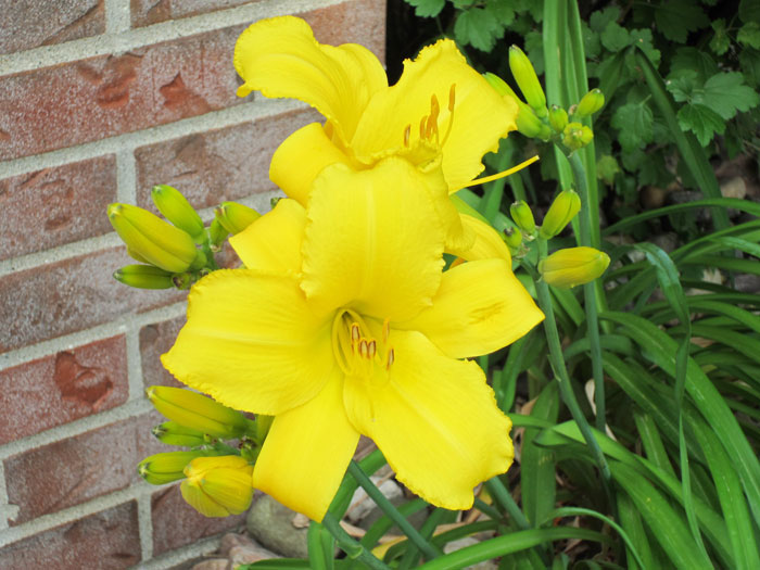 First Daylily Blooms (June 2012)