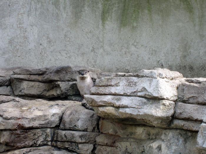 Otter at DSM's Blank Park Zoo - Oct. 2013 - 2