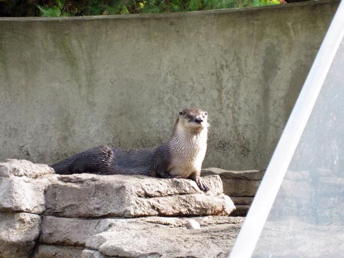 Otter at DSM's Blank Park Zoo - Oct. 2013 - 1