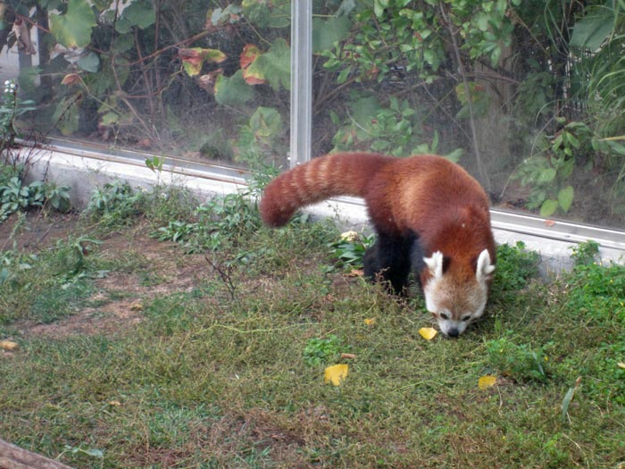 Red Pandas at DSM's Blank Park Zoo - 2