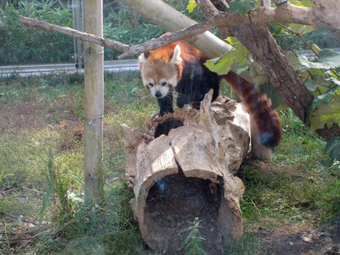 Red Pandas at DSM's Blank Park Zoo - 4