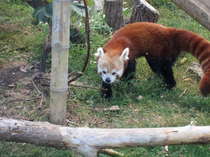 Red Pandas at DSM's Blank Park Zoo - 5