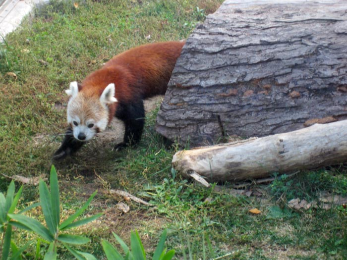 Red Pandas at DSM's Blank Park Zoo - 6