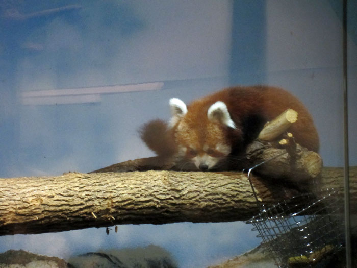 Red Pandas at DSM's Blank Park Zoo - 7