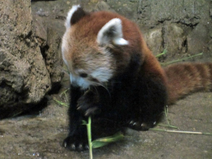 Red Pandas at DSM's Blank Park Zoo - 8